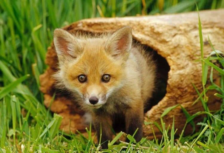 Лисица обитает в заповеднике галичья гора